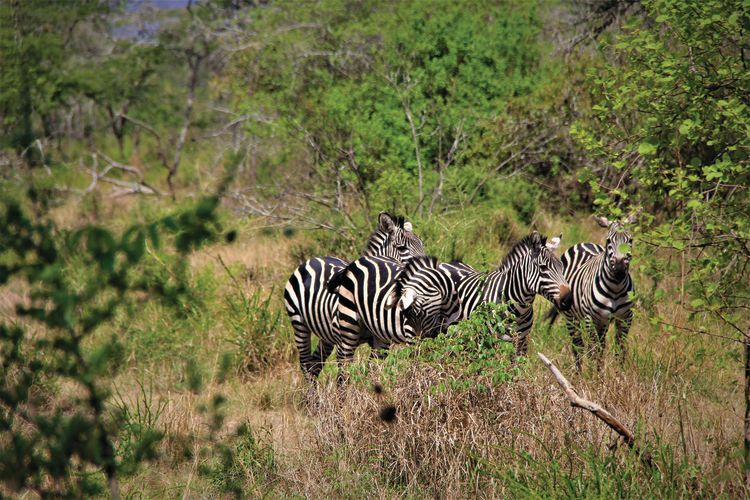 A group of zebras in Akagera.