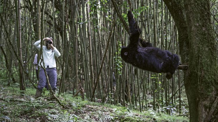 On a Wilderness Safaris outing in Rwanda, travelers learn about critically endangered mountain gorillas.