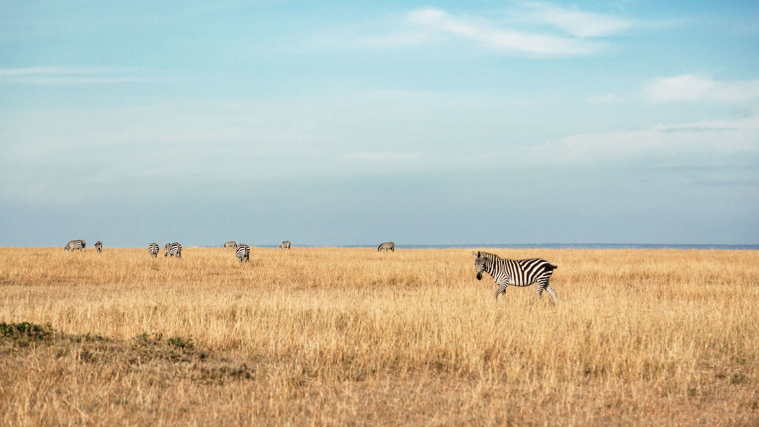 Zebras in the Masai Mara National Reserve during a game drive with the Fairmont Mara Safari Club. Photo by Susan Portnoy