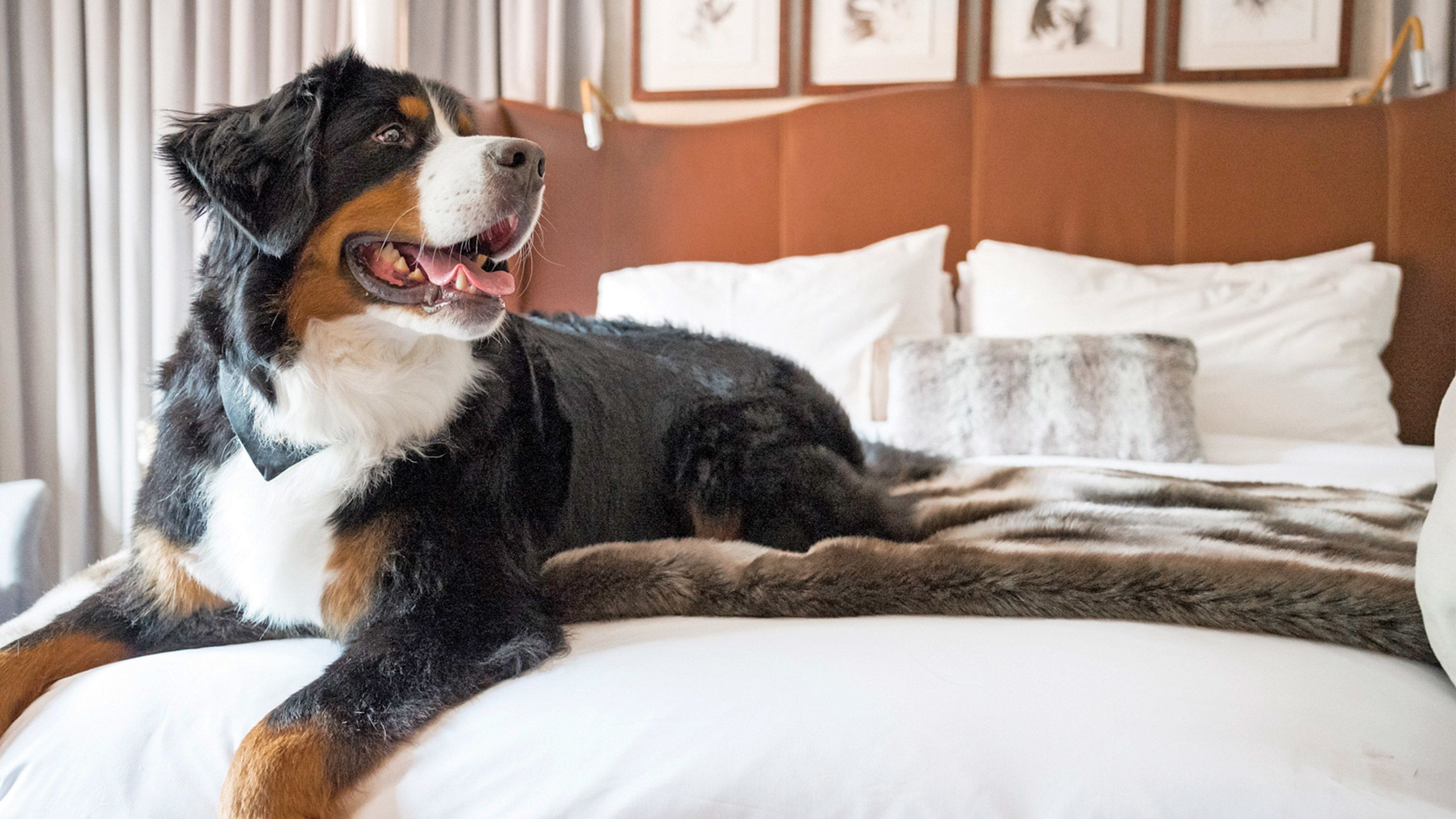 "The St. Regis Aspen offers pet visitors playtime with Kitty the Bernese mountain dog, the property's ""doggy social coordinator."""