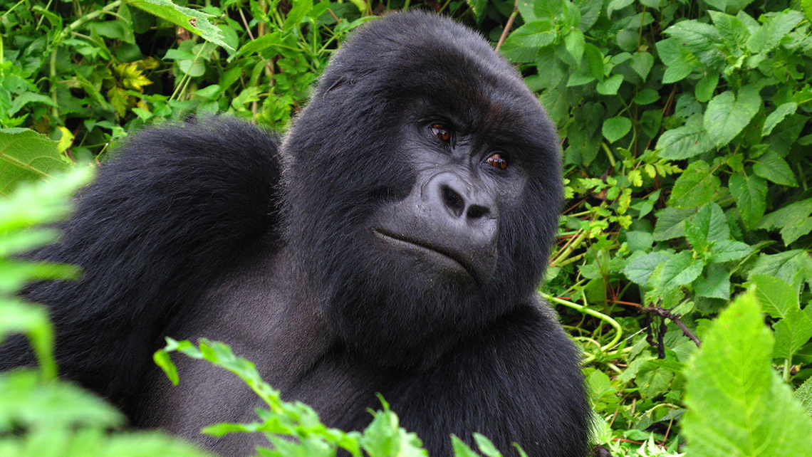 http://www.travelweekly.com/uploadedImages/All_TW_Art/2014/122914/T1229GORILLA_SS.jpg?n=7152