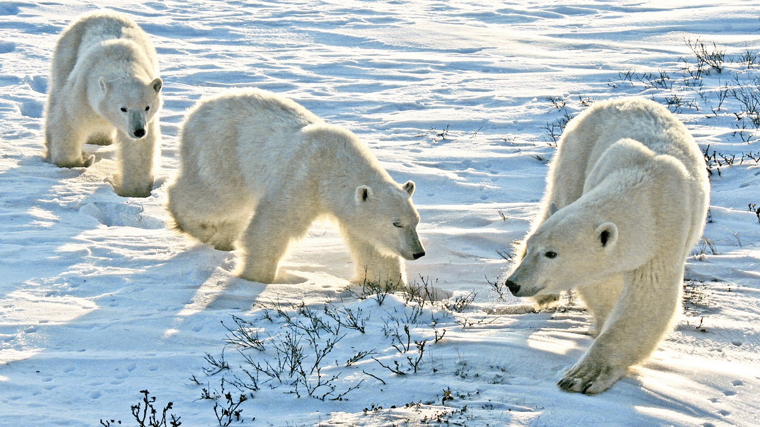 A female polar bear and her cubs in Churchill.
