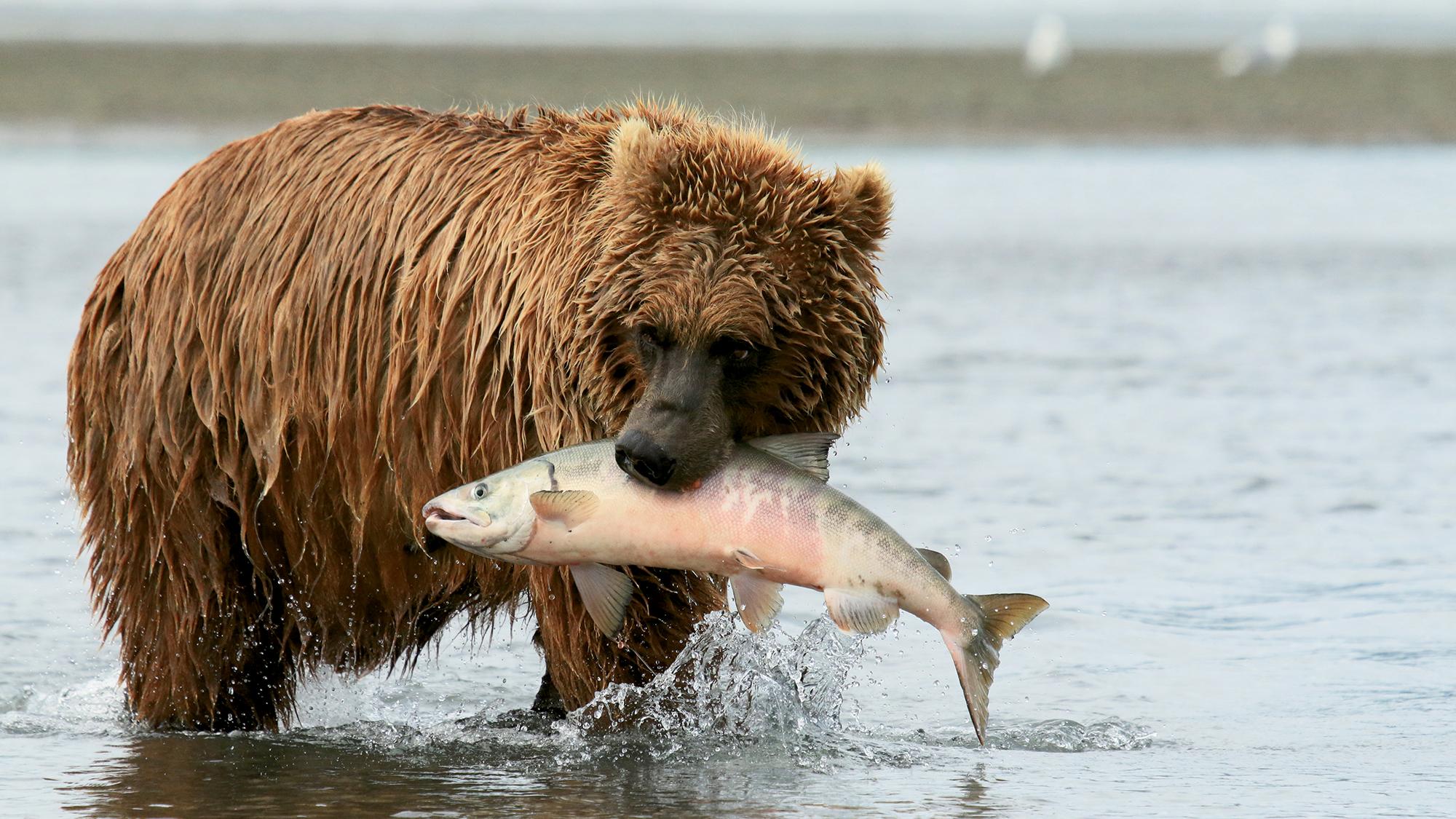 Brown Bear Bonanza At Brooks Falls Travel Weekly