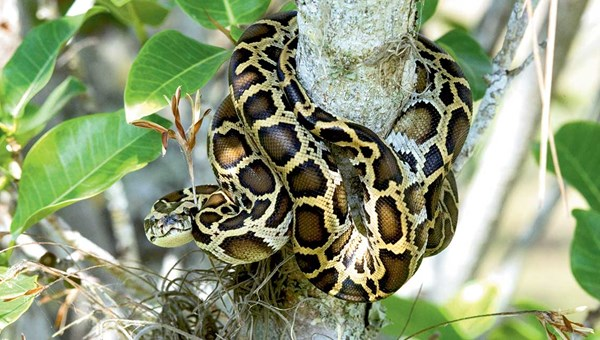A Burmese python in Everglades National Park.
