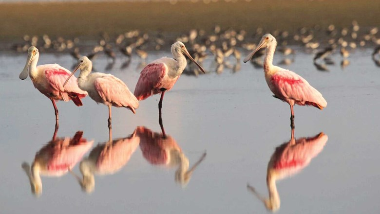 Roseate spoonbill hunt on the coastal mudflats of Everglades National Park.