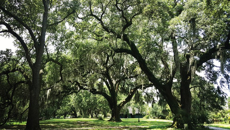 Oak trees at City Park, one of the country's oldest urban parks.