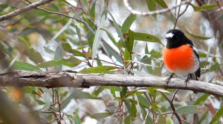 A Scarlet Robin peers through the forest of Kangaroo Island. The island is Australia's third largest, covering 1,700 square miles.