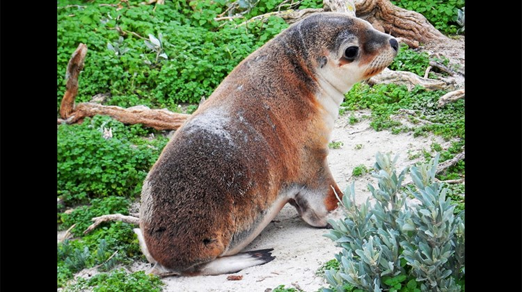 No visit to Kangaroo Island would be complete without a stop at the Seal Bay Conservation Park, where this Australian sea lion pup played near the visitor's walking path.