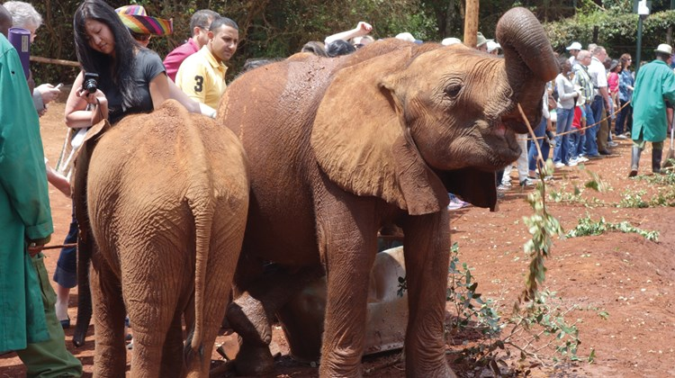 Baby elephants at the David Sheldrick Wildlife Trust in Nairobi.<br /><br /><strong>Photo Credit: Abe Peck</strong>