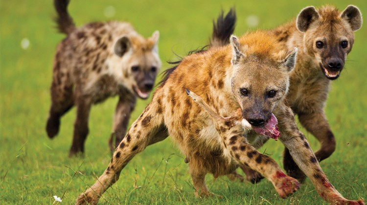 Hyenas on the run.<br /><br /><strong>Photo Credit: Abe Peck</strong>