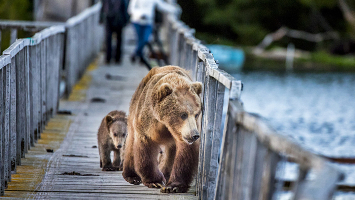 Unusual Expedition offers a trip to Kamchatka, Russia, where brown bears and active volcanoes will be the main sights.