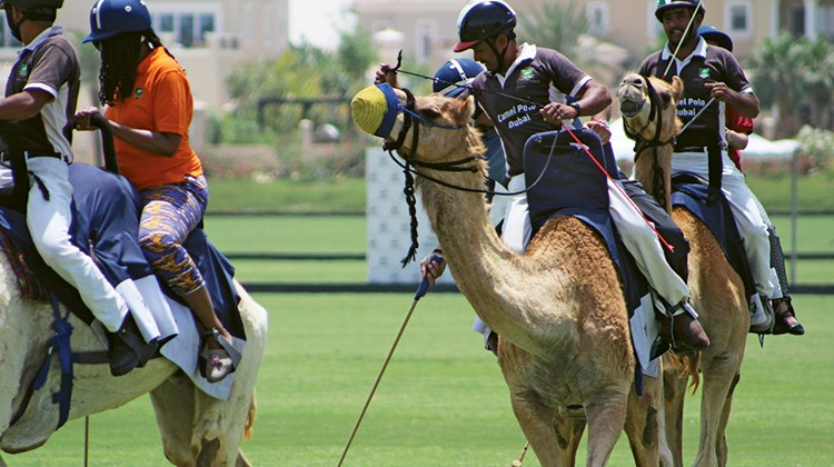 Camel polo at the Dubai Polo and Equestrian Club.