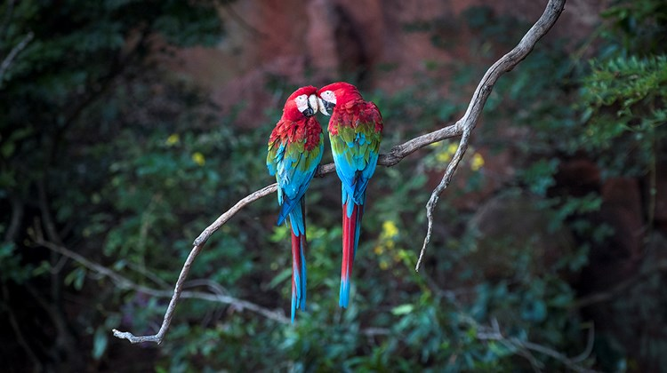 A pair of macaws in Bonito&#39;s Buraco das Araras (Macaw&#39;s Hole).<br /><br /><strong>Photo Credit: Mark Edward Harris</strong>