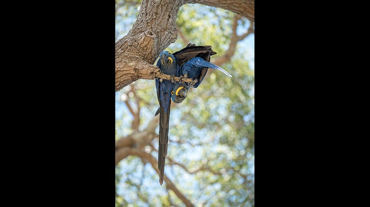 Blue macaws near the San Joao Lodge in the Pantanal.<br /><br /><strong>Photo Credit: Mark Edward Harris</strong>