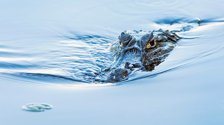 A caiman lurks in the waters of Pantanal, one of 52 varieties of reptiles in the region.<br /><br /><strong>Photo Credit: Mark Edward Harris</strong>