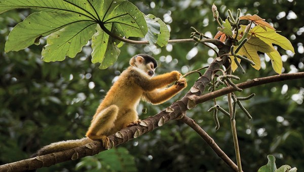 A squirrel monkey in Corcovado National Park.