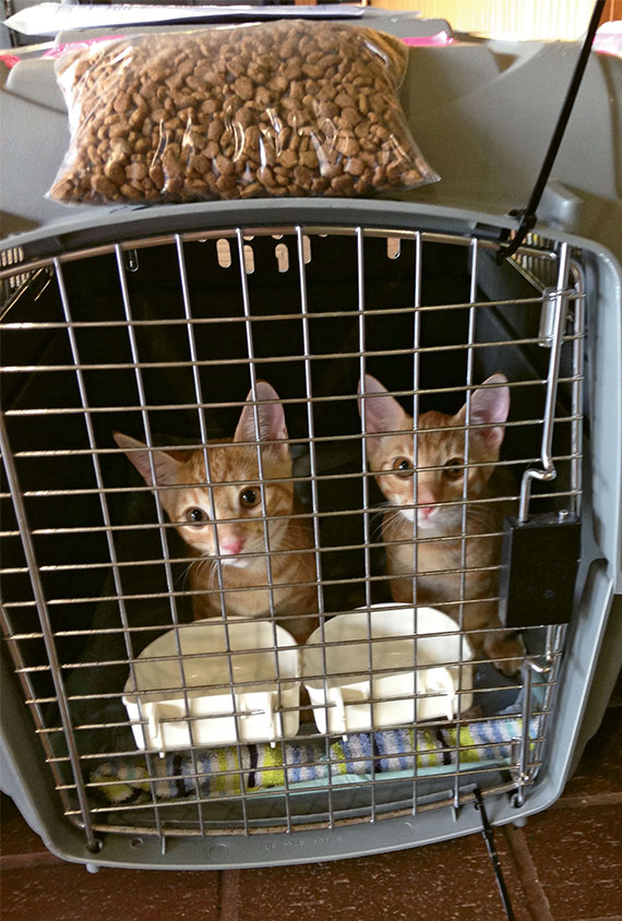 Under the Kauai Community Cat Project's Wings for Whiskers program, volunteers take the island's homeless kittens to shelters on the mainland for adoption.