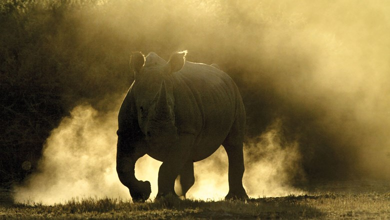The new Saruni Rhino program enables guests on foot to track within yards of black rhinos.