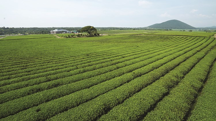 Green tea plantations on Jeju island.<br /><br /><strong>Photo Credit: Korea Tourism Organization</strong>