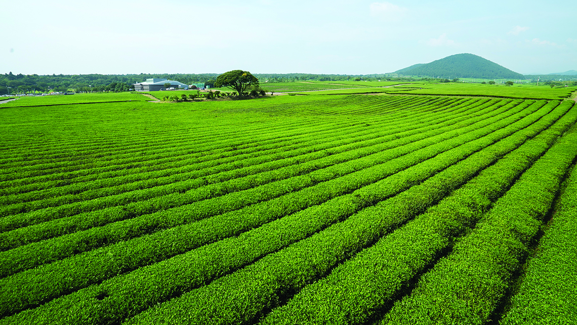 Green tea plantations on Jeju island. Photo Credit: Korea Tourism Organization