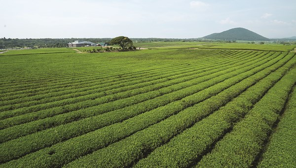 Green tea plantations on Jeju island.