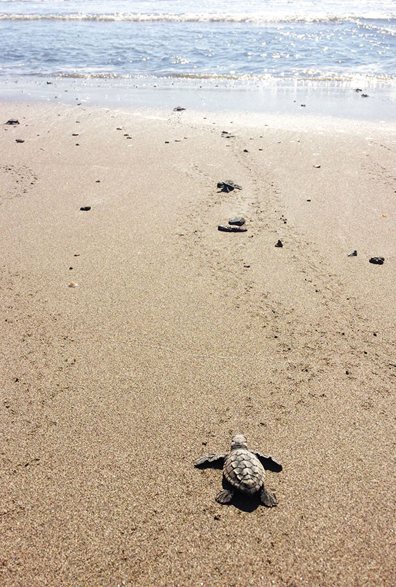 When released on the beach, the baby sea turtles head instinctively toward the ocean. Photo Credit: Meagan Drillinger