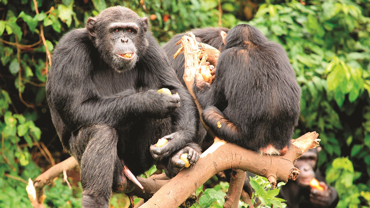 Uganda a prime destination for primate-lovers