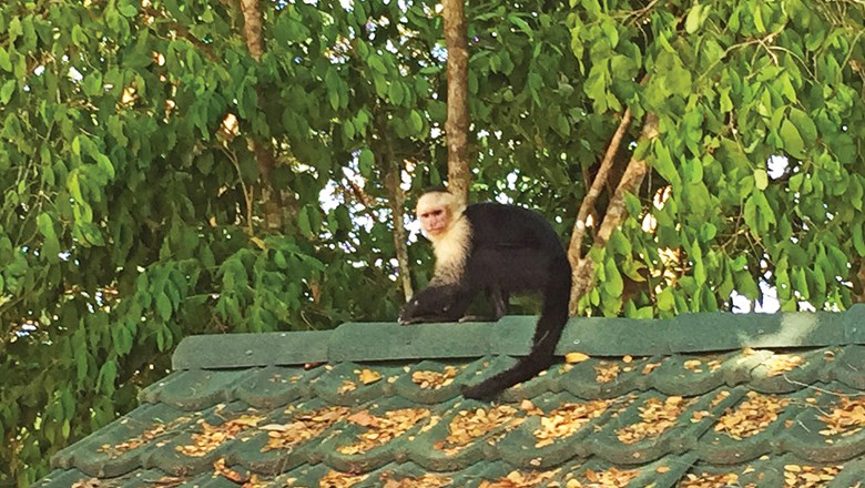 The white-faced monkey is the most easily spotted of the three monkey species at Manuel Antonio National Park.