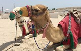 Camel rides on offer in the Qatar desert.