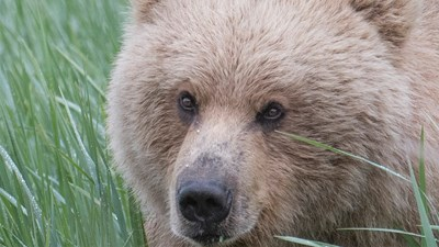 Bear safari specialist taking bookings for 2017-18
