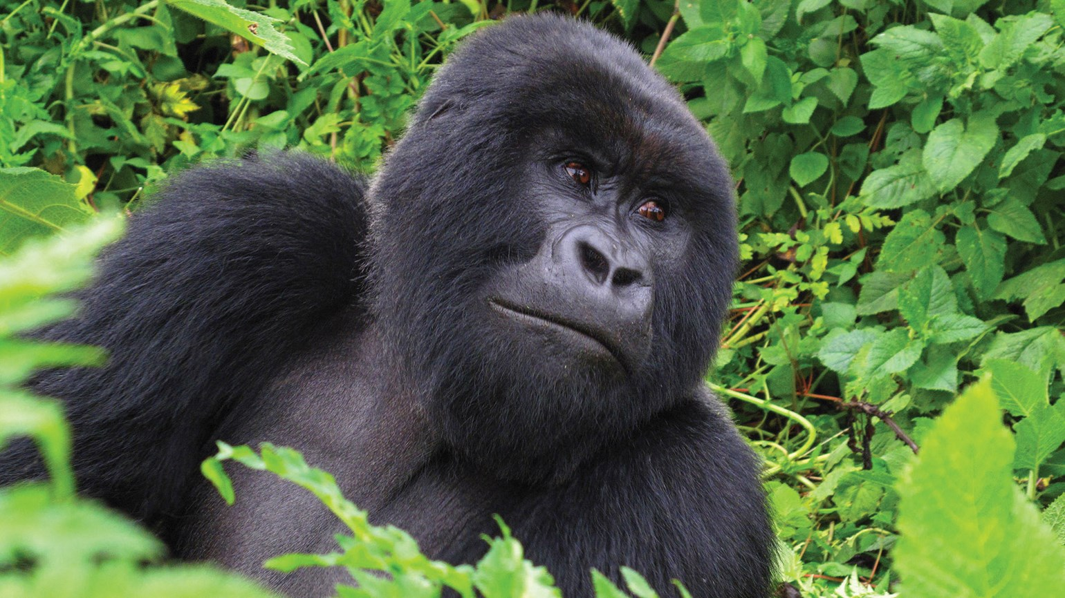 Rwanda doubles price of gorilla-trekking permits: Travel