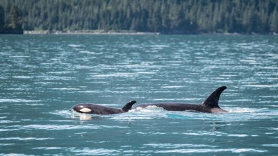Cruise sets sail in search of orcas