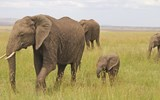 A pack of elephants in Maasai Mara.