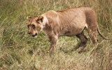 A female lion guards a recent kill nearby in Maasai Mara.
