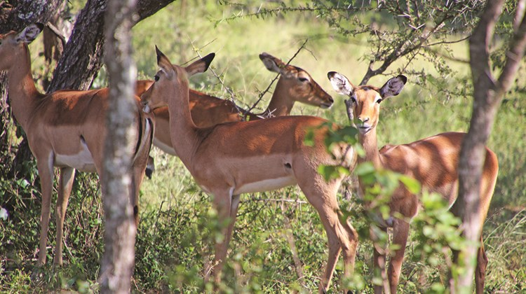Impalas on the Ol Donyo grounds.