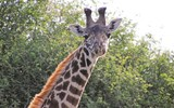 A Masai giraffe spotted during an Ol Donyo safari.