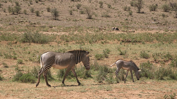 Grevy's zebras at the Samburu National Reserve. The Grevy's is distinguished by its narrower stripes.