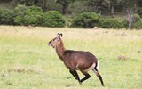 A waterbuck picks up speed in Maasai Mara National Reserve.