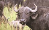 A herd of buffalo in Maasai Mara.