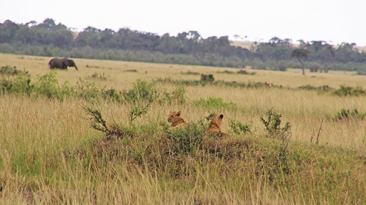 Lion cubs in Maasai Mara.