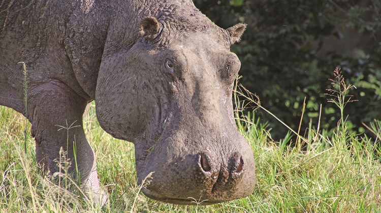 A hippo pauses while grazing in Maasai Mara.