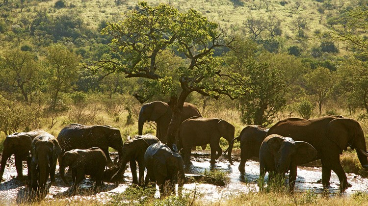 Elephants bathing on the Thanda reserve.