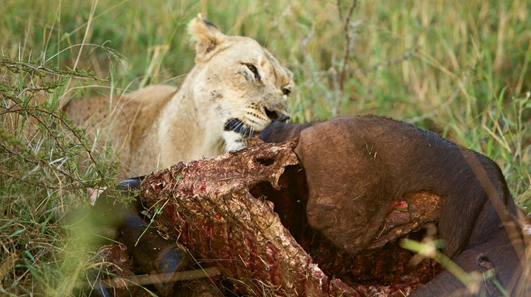 A lioness with her prey.