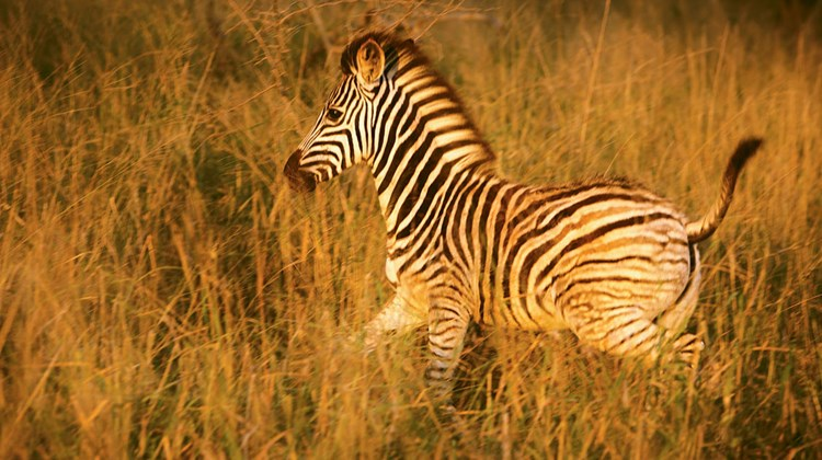 A young zebra in motion during a morning game drive.