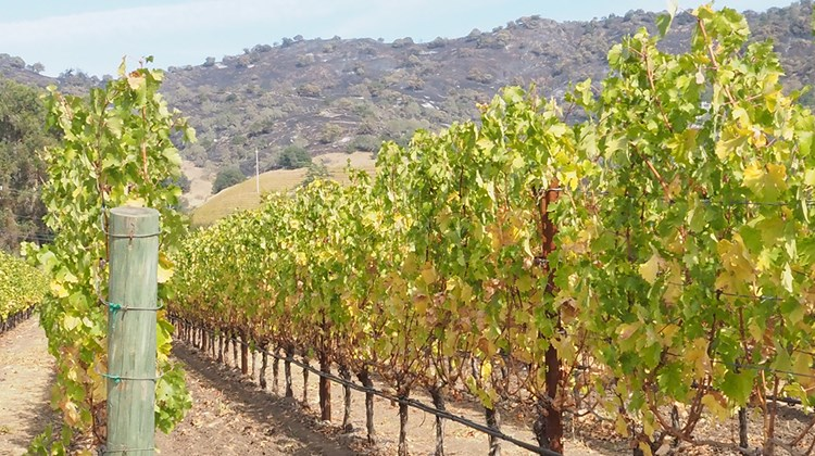 Hills scorched by the 51,000-acre Atlas Fire in Yountville along the Silverado Trail are seen in the background of the Cliff Lede vineyard, producer of Poetry Cabernet Sauvignon. The vineyard's tasting room, which was intact, planned to reopen Oct. 20.