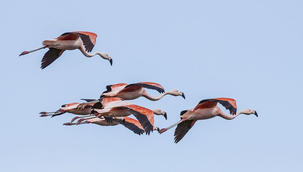 Chilean flamingos soar over Southern Patagonia.