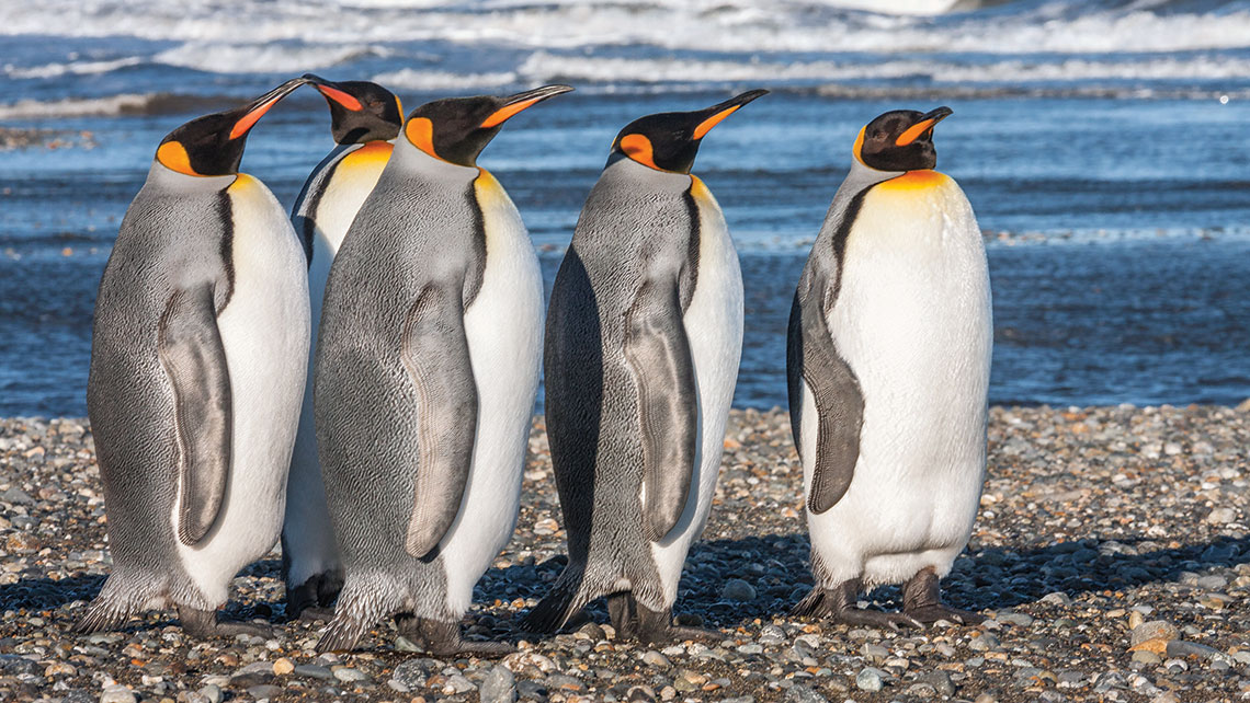 A small colony of king penguins inhabits Bahia Inutil (Useless Bay). Photo Credit: Claudio F. Vidal