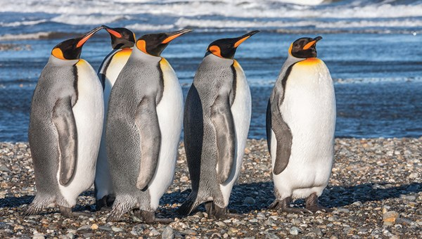 A small colony of king penguins inhabits Bahia Inutil (Useless Bay).