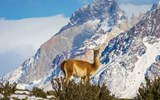 A guanaco, a South American camelid related to the llama, in Torres del Paine.