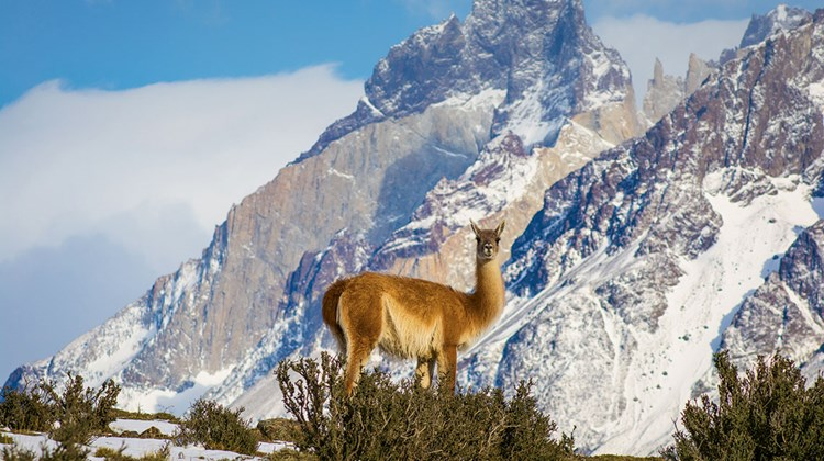 A guanaco, a South American camelid related to the llama, in Torres del Paine.<br /><br /><strong>Photo Credit: EcoCamp Patagonia</strong>